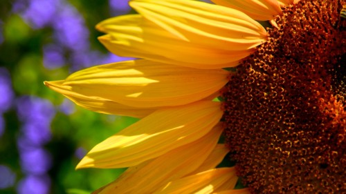 sunflower_sun_closeup small